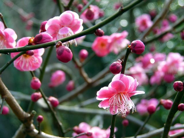 Fleurs Japon - Dozo Domo