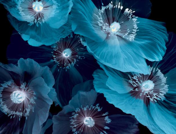 Fleurs pavot